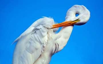 фон, птица, клюв, белая, аист, шея, цапля
