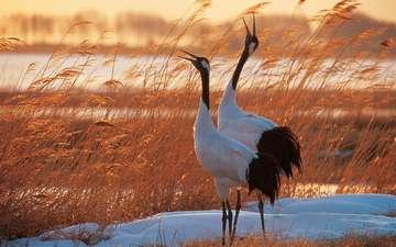 снег, птицы, журавли, сухая трава