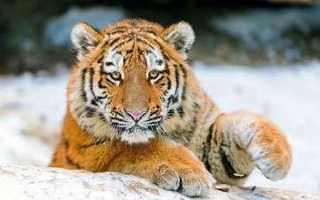тигр, морда, снег, зима, лапа, детеныш
