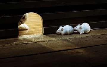кот, кошка, засада, белые, мыши, охота, ожидание, вход, нора, норка, мышки