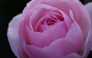 макро, цветок, роза, лепестки, бутон, розовый, пион