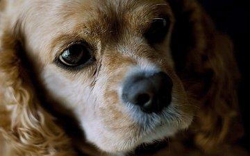 морда, взгляд, собака, американский, кокер-спаниель