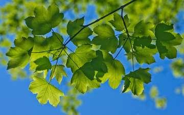 небо, ветка, природа, листья, макро, лето, зеленые