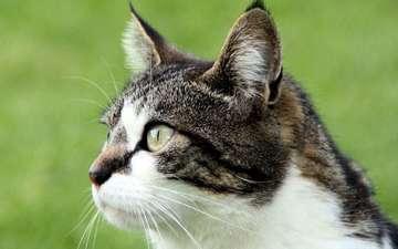 фон, кот, кошка, взгляд
