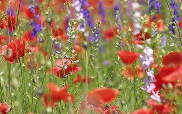 цветы, лето, маки, полевые, разные