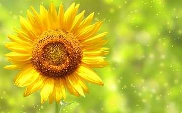 цветок, лепестки, подсолнух, стебель, боке