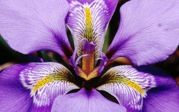 макро, цветок, лепестки, фиолетовый, ирис