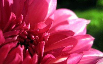 macro, flower, petals, pink, dahlia