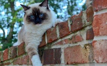 глаза, кот, кошка, взгляд, забор, кирпичи, сиамский