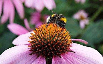 природа, макро, насекомое, цветок, пчела, пыльца, шмель