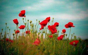 небо, цветы, природа, поле, красные, маки