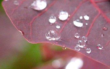 macro, rosa, drops, sheet, plant
