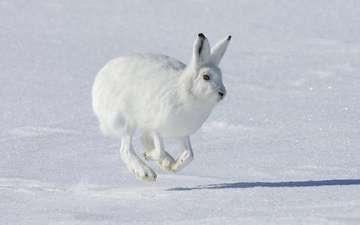снег, зима, животное, заяц, белый заяц