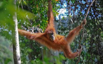 деревья, лес, животные, обезьяна, джунгли, примат, орангутанг, лианы