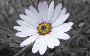 природа, цветок, роса, капли, лепестки, белый, ромашка