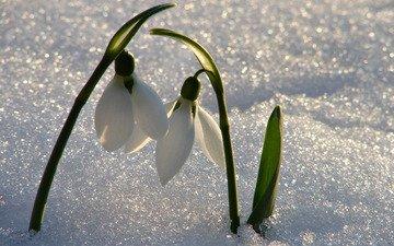 цветы, снег, весна, подснежники