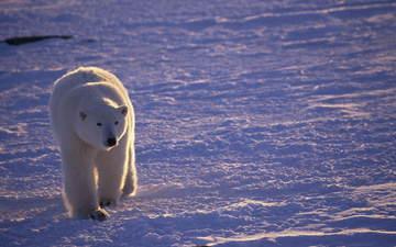 снег, медведь, белый, прогулка, арктика