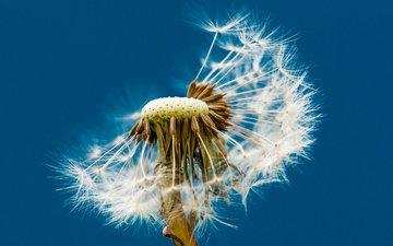 макро, фон, цветок, одуванчик, пушинки