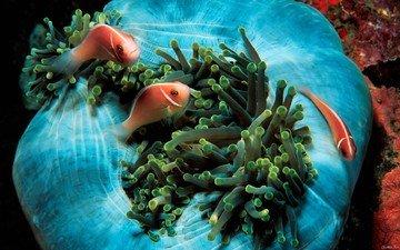 рыбки, океан, подводный мир, pink anemonefish, актинии