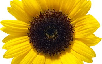 цветок, лепестки, подсолнух, белый фон