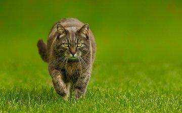 трава, зелёный, фон, кот, кошка
