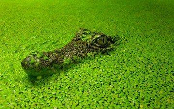 grass, water, pond, crocodile, algae, duckweed