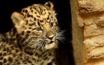морда, усы, взгляд, леопард, пятна, малыш, детеныш