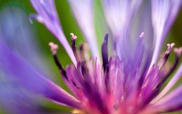 макро, синий, цветок, лепестки, василек, сердцевина