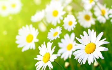 цветы, макро, ромашки, белые, полевые