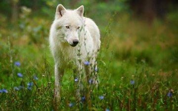 цветы, природа, белый, хищник, волк, полярный волк, арктический волк
