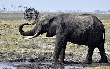 грязь, слон, душ, лужа, хобот, бивни