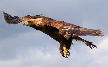 небо, полет, орел, птица, хищная