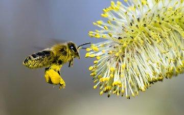 макро, насекомые, пчела, нектар, верба