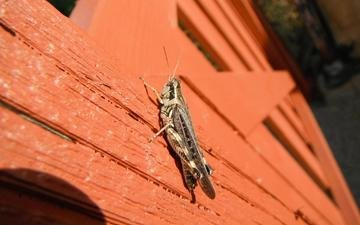 macro, insects, grasshopper