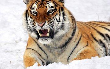 тигр, морда, снег, взгляд, лежит, хищник, оскал, угроза