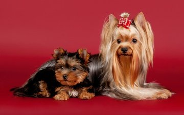 beauty, red background, dogs, bow, yorkshire terrier, lapdog
