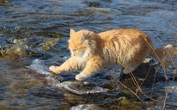 вода, камни, ручей, кот, кошка, рыжий, рыжий кот, бесстрашный, исследователь