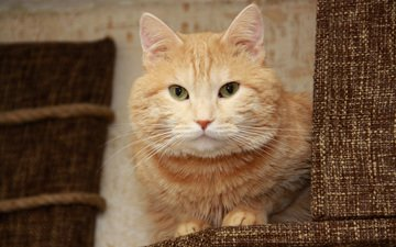 глаза, морда, кот, усы, кошка, уши, рыжий, нос, рыжий кот