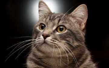 портрет, кот, кошка, полосатый, позирование
