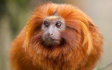 животные, обезьяна, золотой, примат, тамарин