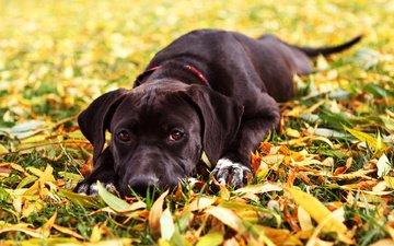трава, листья, взгляд, осень, собака, черная, майя, еврохаунд