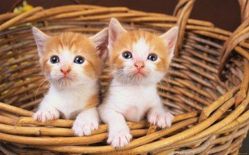 cats, kittens, basket, red kittens, red, faces, red-white, basket.
