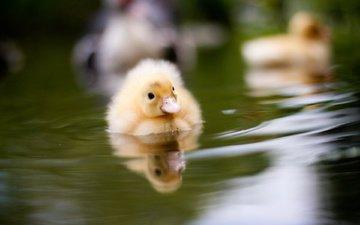 вода, птенец, природа, птица, утки, утенок