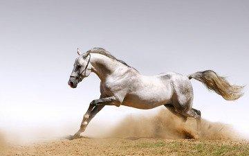 лошадь, песок, пыль, конь, жеребец, белая лошадь