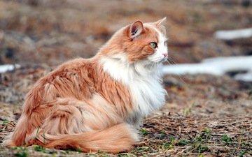 природа, фон, кот, кошка, пушистый, зеленые глаза, рыжий кот, рыже-белый