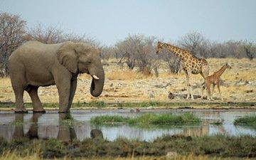 животные, слон, африка, жираф, водопой, саванна