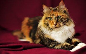 морда, кот, усы, кошка, нос, красный фон, мейн-кун, большой кот, пушистый. взгляд
