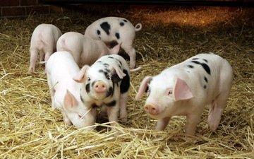 солома, свиньи, поросята, домашние животные, свинки