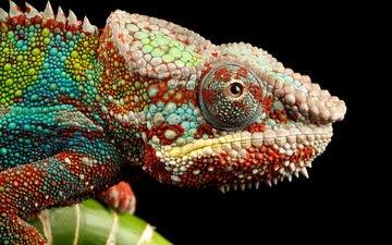 макро, разноцветный, ящерица, черный фон, хамелеон, рептилия