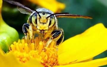 желтый, макро, цветок, насекомые, пчела
